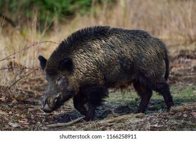 Wild boar male in the forest, winter, germany, (sus scrofa)
