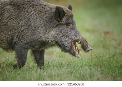 Wild boar, male with large tusks foraging for apples