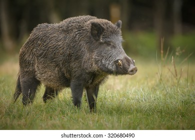 Wild boar male showing his formidable tusks