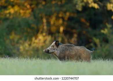 Wild boar  in the meadow with autumn colors background