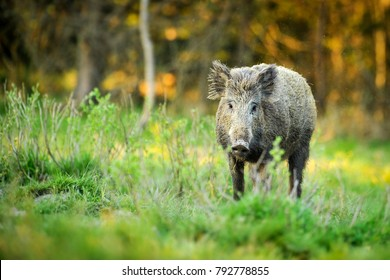 Wild boar in natural habibat. Wild boar in spruce forest. Sus scrofa