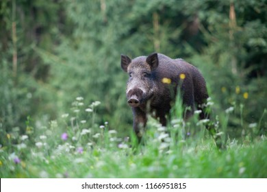 wild boar in its natural habitat