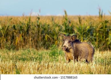 Wild boar near corn field