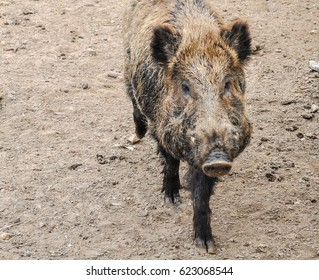 The wild boar is an omnivorous, forestry mammal, close to the pig. The genus Sus belongs to the family of the swine, in the order of the Artiodactyla