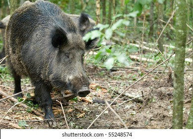 Wild boar on a background of wood