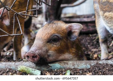 wild boar in organic farm
