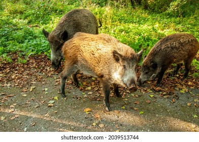 Wild boar pig on the side of the raod in a national park curonian spit Kaliningrad oblast