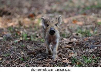 Wild boar piglet in the forest, spring, germany, (sus scrofa)