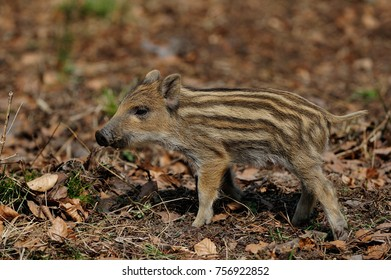 Wild boar piglet in the forest, spring, (sus scrofa)