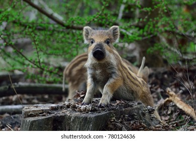 Wild boar piglet look curious, spring, (sus scrofa)