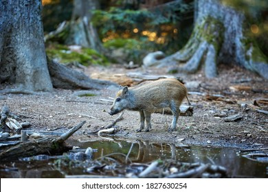 Wild boar piglet, Sus scrofa drinks water from a forest lake, in the background a spruce forest. Direct view. Hunting season, Europe.