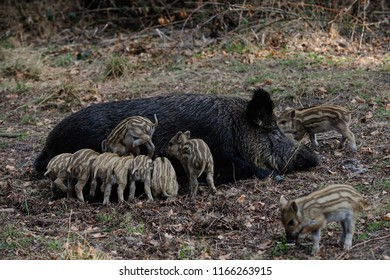 Wild boar piglets drink milk from her mother, spring, germany, (sus scrofa)