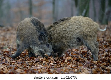 Wild boar piglets fight in the forest, autumn, germany,  (sus scrofa)
