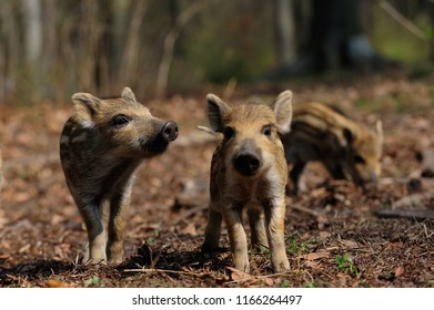 Wild boar piglets in the forest, spring, germany, (sus scrofa)