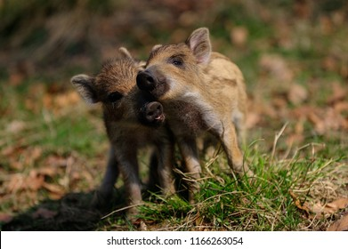 Wild boar piglets playing fight in the forest, spring, germany,  (sus scrofa)