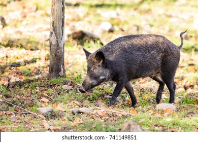 Wild Boar and piglets or squeakers shot in a boreal forest north Quebec Canada.