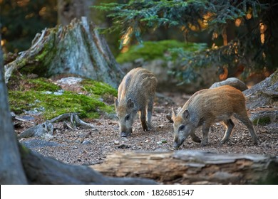 Wild boar piglets, Sus scrofa with its snout on the ground looking for food in old spruce forest.  Europe.