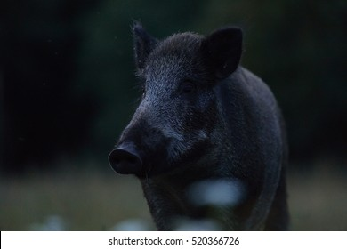 Wild boar portrait at night