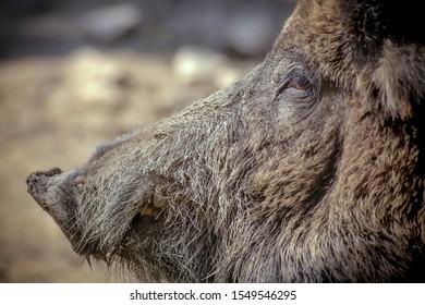 Wild boar profile in his nature
