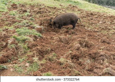 wild boar rooting in the ground , the grass and the ground is destroyed