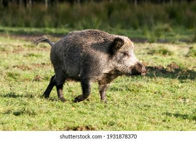 A wild boar is running