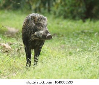 Wild boar (Scientifical name Sus scrofa) walking in the green grass and looking for something to eat at Sai Kung in Hong Kong on 14 Nov 2017