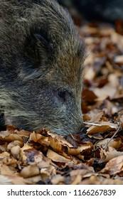 Wild boar search feed in the forest, head portrait, autumn, germany, (sus scrofa)