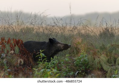 Wild boar sniffing