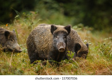 Wild boar sounder, mother and family, in autumn forest