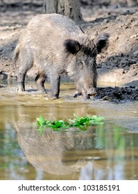 Wild boar in spring forest