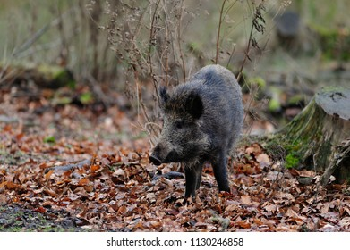 Wild boar standing  in the forest and look, autumn, germany,