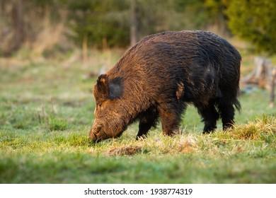 Wild boar standing on grassland in spring sunlight