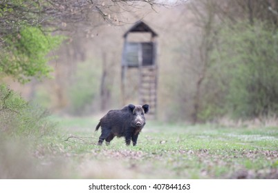 Wild boar standing on meadow with wooden watch tower in background and looking at camera