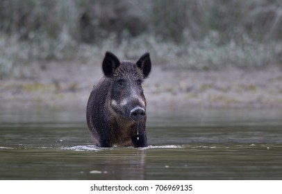 Wild boar standing in shallow water. Wildlife in natural habitat