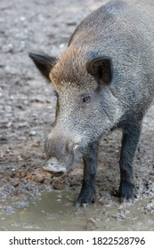 a wild boar stands in the dirt