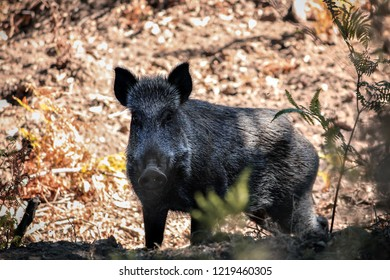 a wild boar surprised to find people