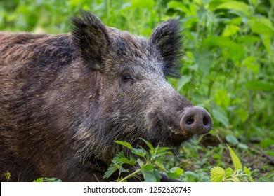Wild boar - Sus scrofa.
