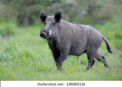 Wild boar, sus scrofa ,big, adult wild boar in the forest