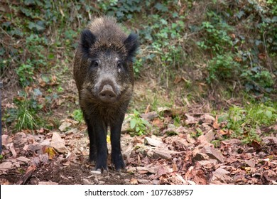 Wild boar (Sus scrofa) digs snout acorns in woods, beast copes well with task despite rocky soil, forestry aspect. Big game hunting for hoofed mammals, ungulates, game husbandry