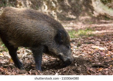 Wild boar (Sus scrofa) digs snout acorns in woods, beast copes well with task despite rocky soil, forestry aspect. Big game hunting for hoofed mammals, ungulates in game husbandry