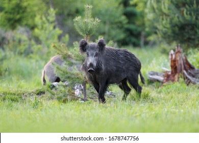 Wild boar, sus scrofa , In the evening, wild boars come out of the forest to look for food