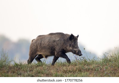 Wild boar (sus scrofa ferus) walking on meadow in late summer time. Wildlife in natural habitat