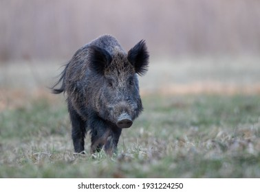 Wild boar (sus scrofa ferus) walking in forest and looking at camera. Wildlife in natural habitat