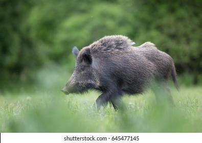 Wild boar (sus scrofa ferus) walking in high grass on meadow in front of forest. Wildlife in natural habitat