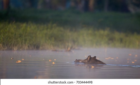 Wild boar (sus scrofa ferus) swimming in river. Wildlife in natural habitat