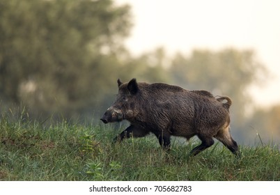 Wild boar (sus scrofa ferus) walking in forest on foggy morning. Wildlife in natural habitat