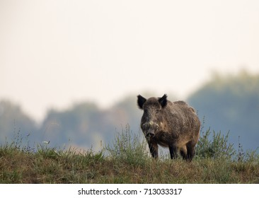 Wild boar (sus scrofa ferus) standing on meadow with forest in background. Wildlife in natural habitat