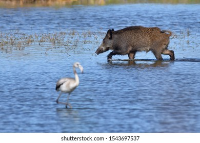 The wild boar (Sus scrofa), also known as the wild swine, Eurasian wild pig, is a suid native to much of Eurasia,North Africa, and the Greater Sunda Islands. Wild boar and Squeakers or juveniles.