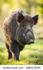 Wild boar, sus scrofa, male moving forward on green meadow in springtime nature at sunrise. Hairy mammal with white tusks approaching from front view in vertical composition. Animal wildlife.