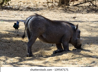 Wild boar (Sus scrofa) on the sand